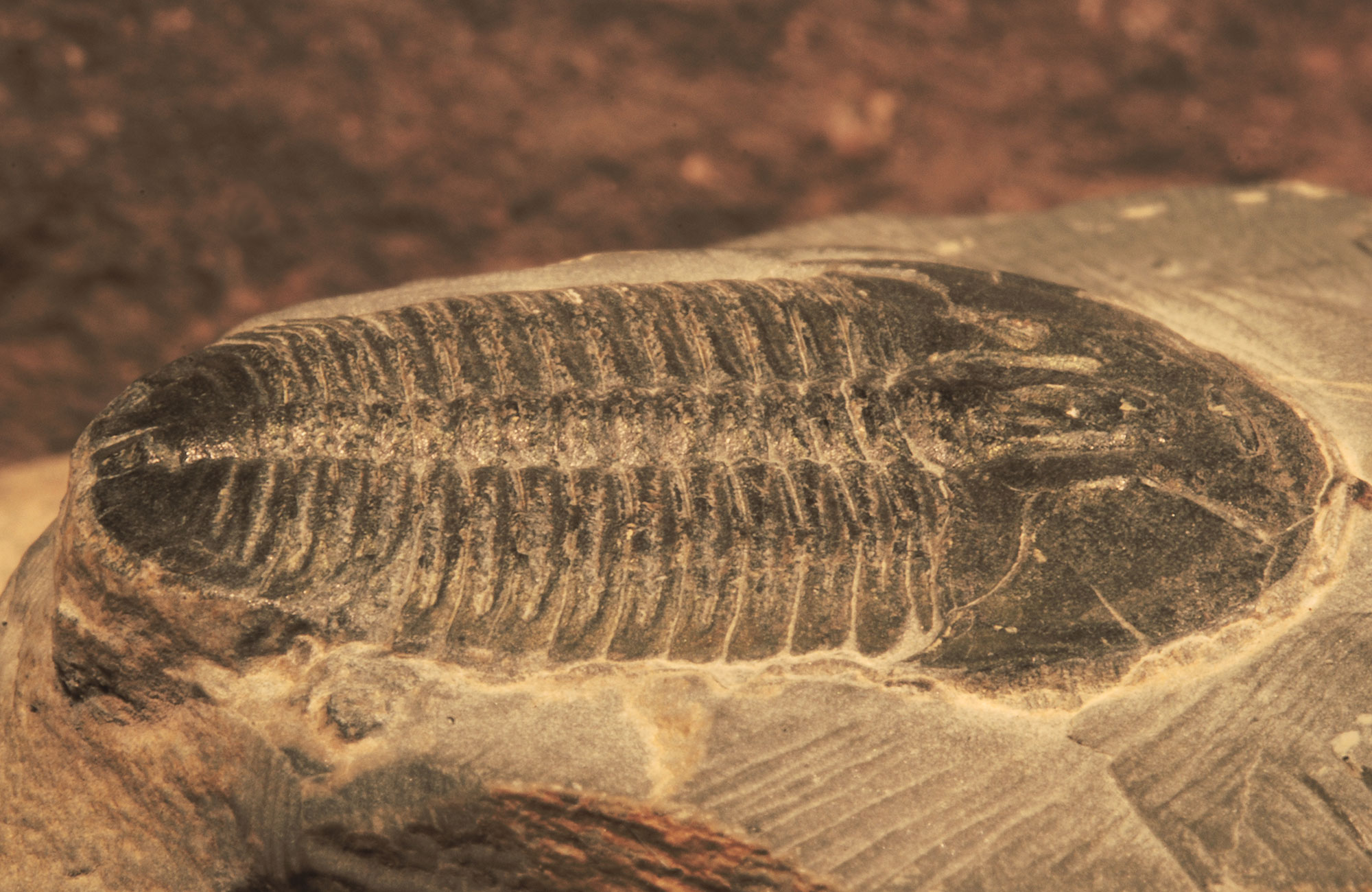 Photo of a trilobite fossil