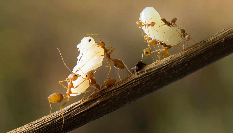 Photo of ants holding larvae.