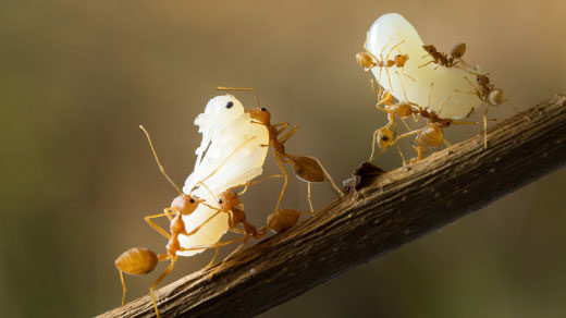 Photo of ants holding larvae.