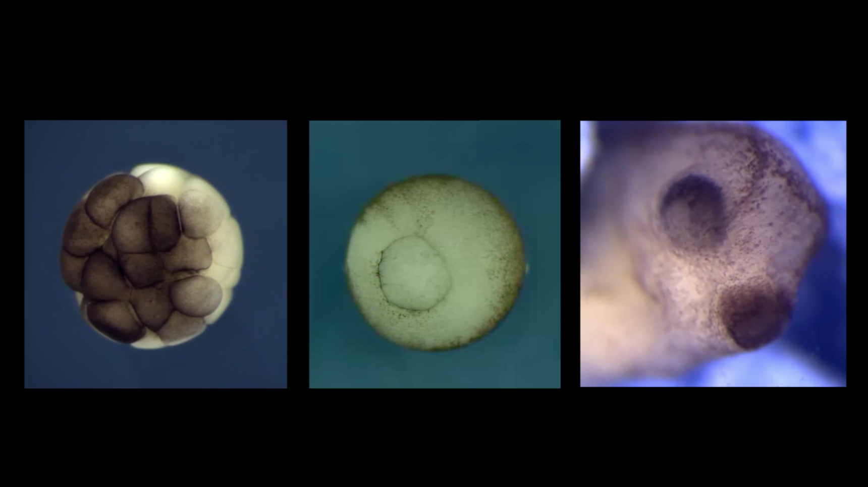 Video: These time-lapse videos reveal various stages of development for a frog. In the first one, the single cell of a fertilized egg divides over and over to produce an embryo that is a ball of cells. In the second video, the embryo begins to develop more of a body plan: Openings turn the hollow ball of cells into a tube, and tissues fold over to create a neural tube, the precursor of the central nervous system. The third video shows a close-up of the embryonic frog's face as the eyes begin to take shape.