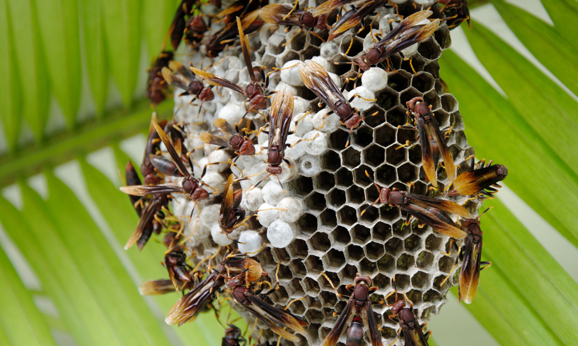 Wasps nesting on a palm frond