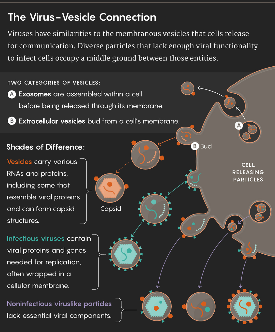 Graphic illustrating the virus-vesicle connection: Viruses have similarities to the membranous vesicles that cells release for communication. Diverse particles that lack enough viral functionality to infect cells occupy a middle ground between those entities. TWO CATEGORIES OF VESICLES: Exosomes are assembled within a cell before being released through its membrane. Extracellular vesicles bud from a cell's membrane. Shades of Difference: Vesicles carry various RNAs and proteins, including some that resemble viral proteins and can form capsid structures. Infectious viruses contain viral proteins and genes needed for replication, often wrapped in a cellular membrane. Noninfectious viruslike particles lack essential viral components.