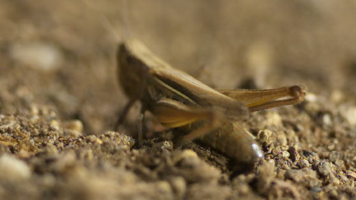Photo of a grasshopper poised to jump.