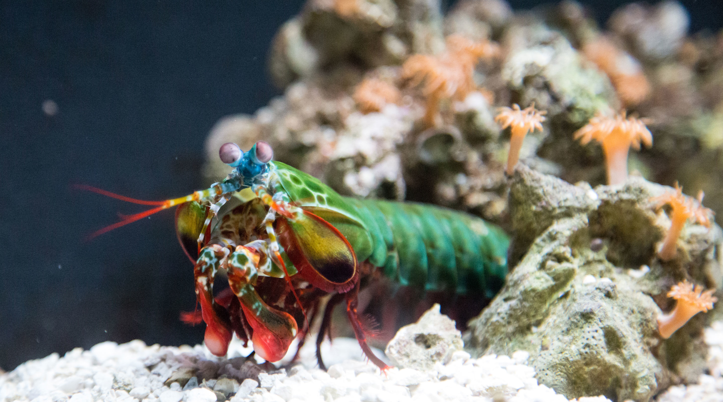 Photo of a mantis shrimp