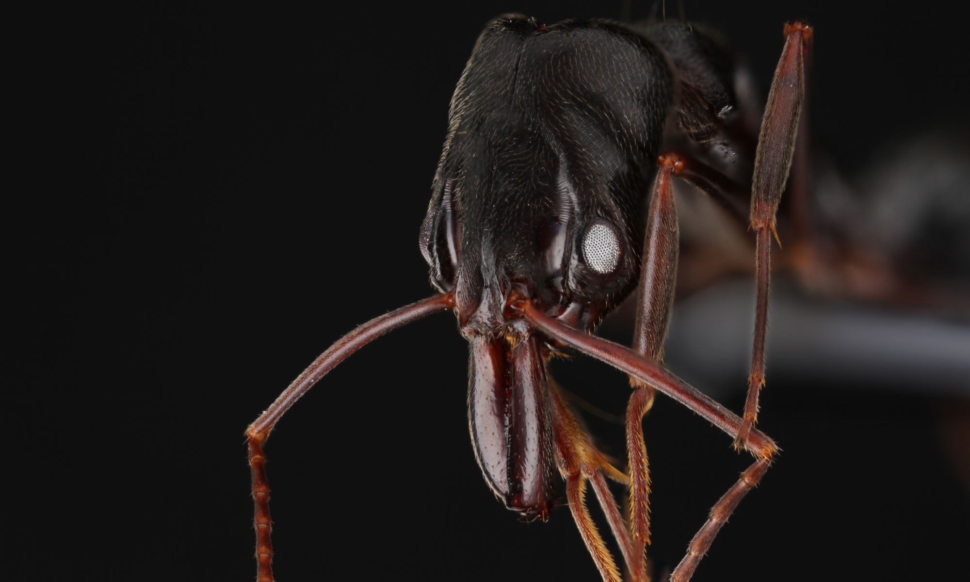 Photo of a trapjaw ant