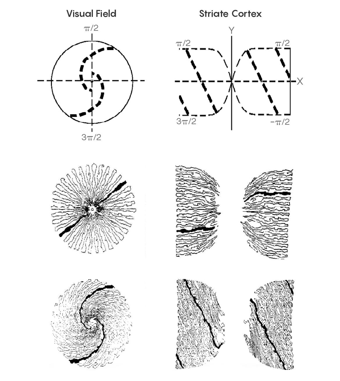 cortex-field