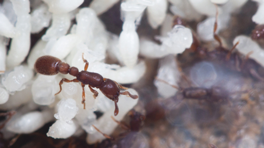 How Insulin Helped Create Ant Societies | Quanta Magazine