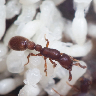 Photo of an ant tending to larvae
