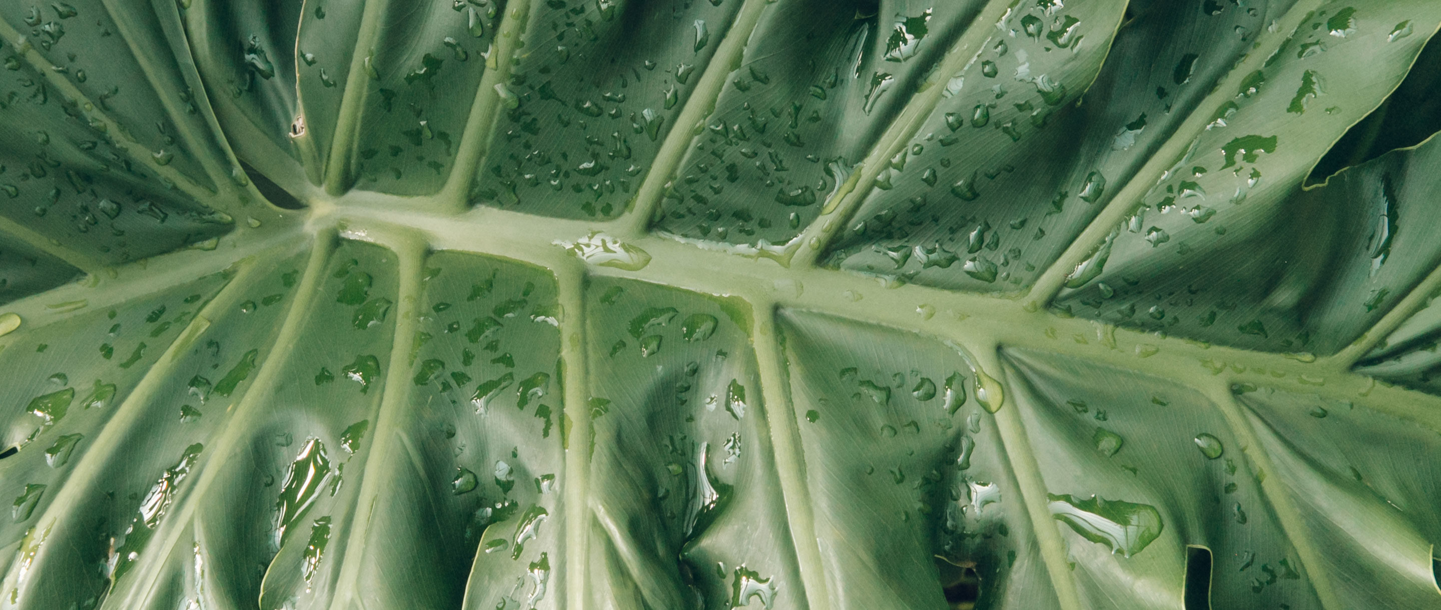Closeup of Thaumatophyllum bipinnatifidum leaf.