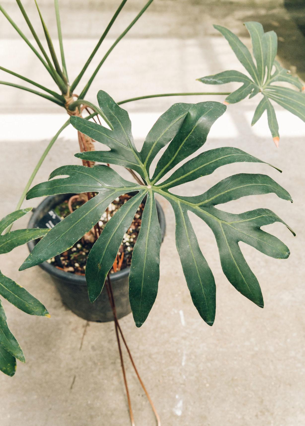 Thaumatophyllum adamantinum