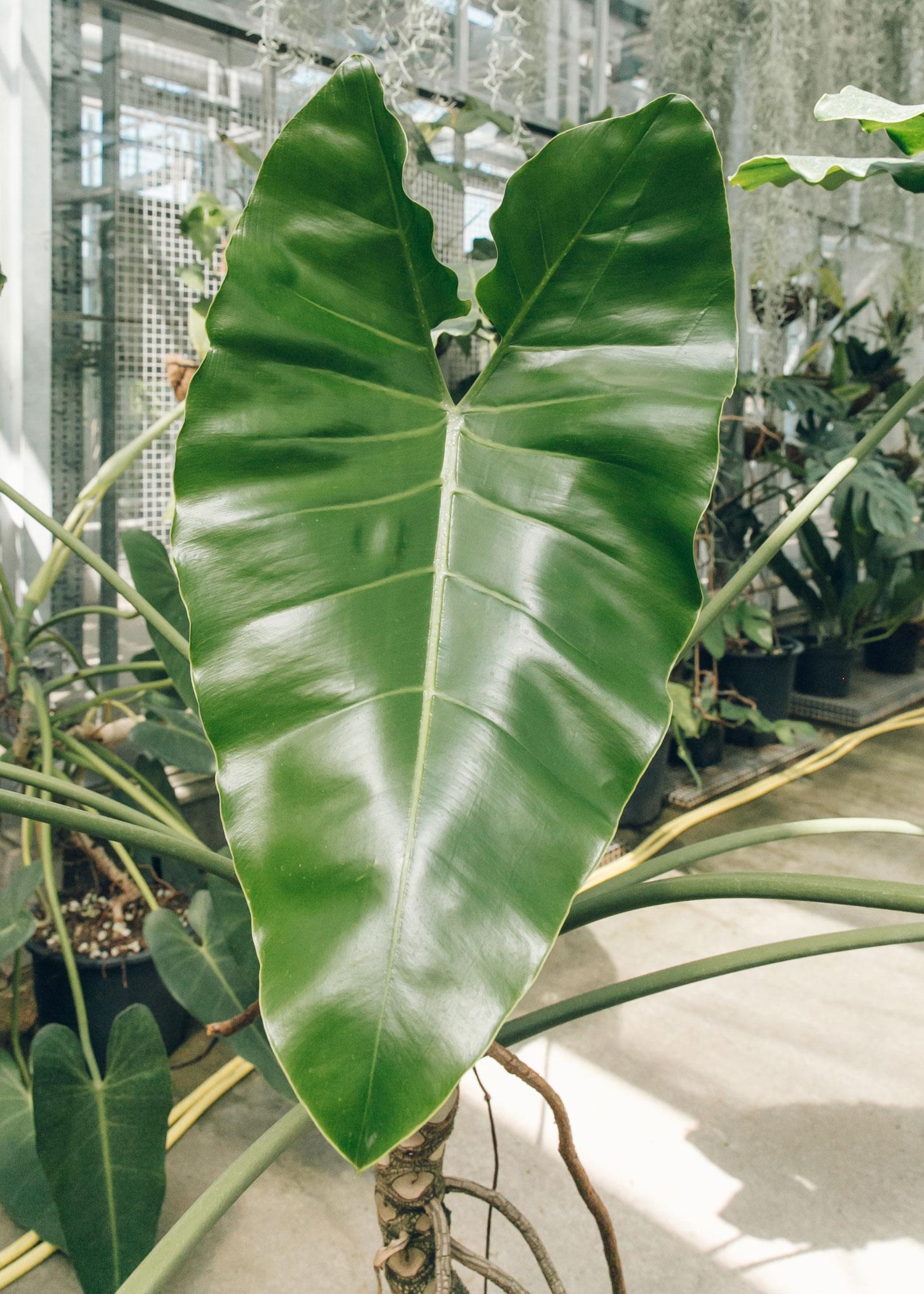 Thaumatophyllum solimoesense