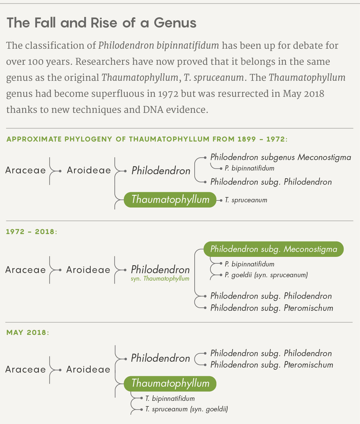 The classification of Philodendron bipinnatifidum has been up for debate for over 100 years. Researchers have now proved that it belongs in the same genus as the original Thaumatophyllum, T. spruceanum. The Thaumatophyllum genus had become superfluous in 1972 but was resurrected in May 2018 thanks to new techniques and DNA evidence.