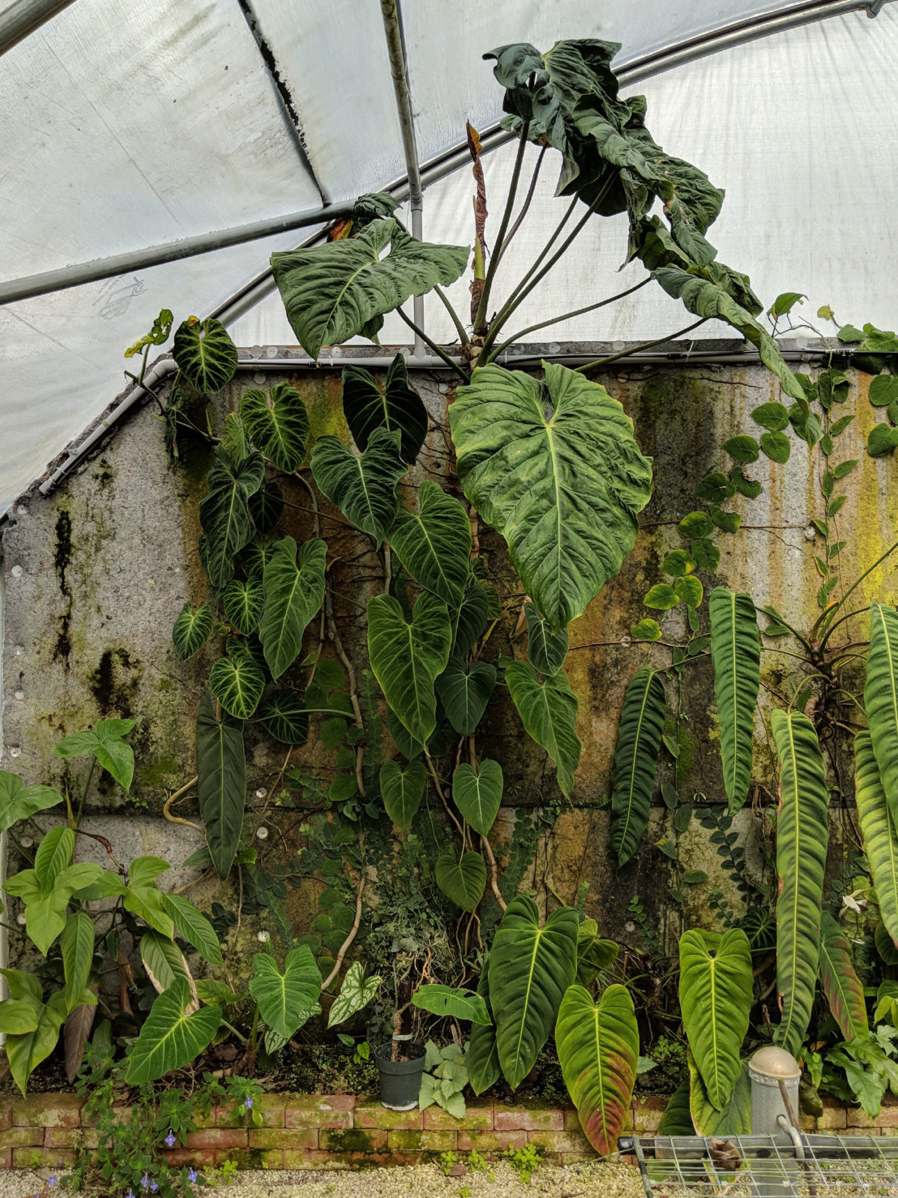 Philodendrons climbing a wall in a greenhouse