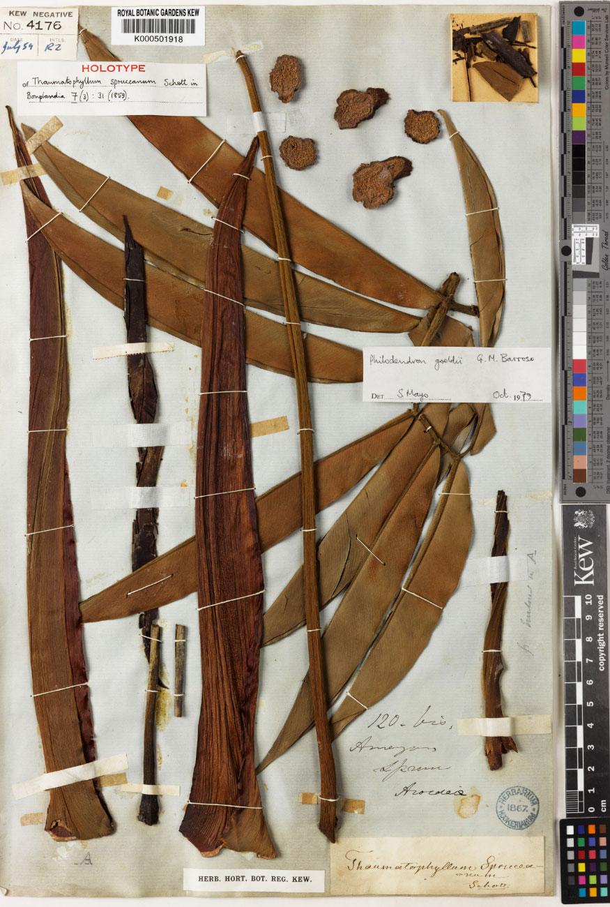 Richard Spruce's original herbarium specimen of Thaumatophyllum spruceanum