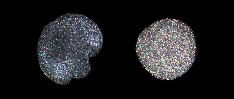 Photo of Trichoplax adhaerens