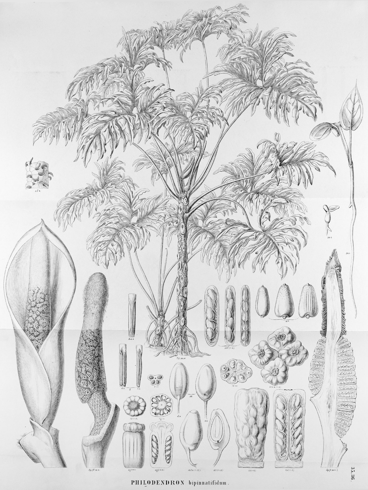 "Botanical illustration of ""Philodendron bipinnatifidum"""