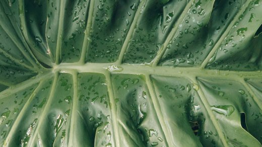 Thaumatophyllum bipinnatifidum leaf