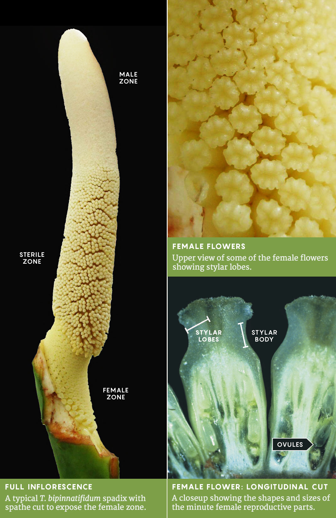 T. bipinnatifidum inflorescence, graphic