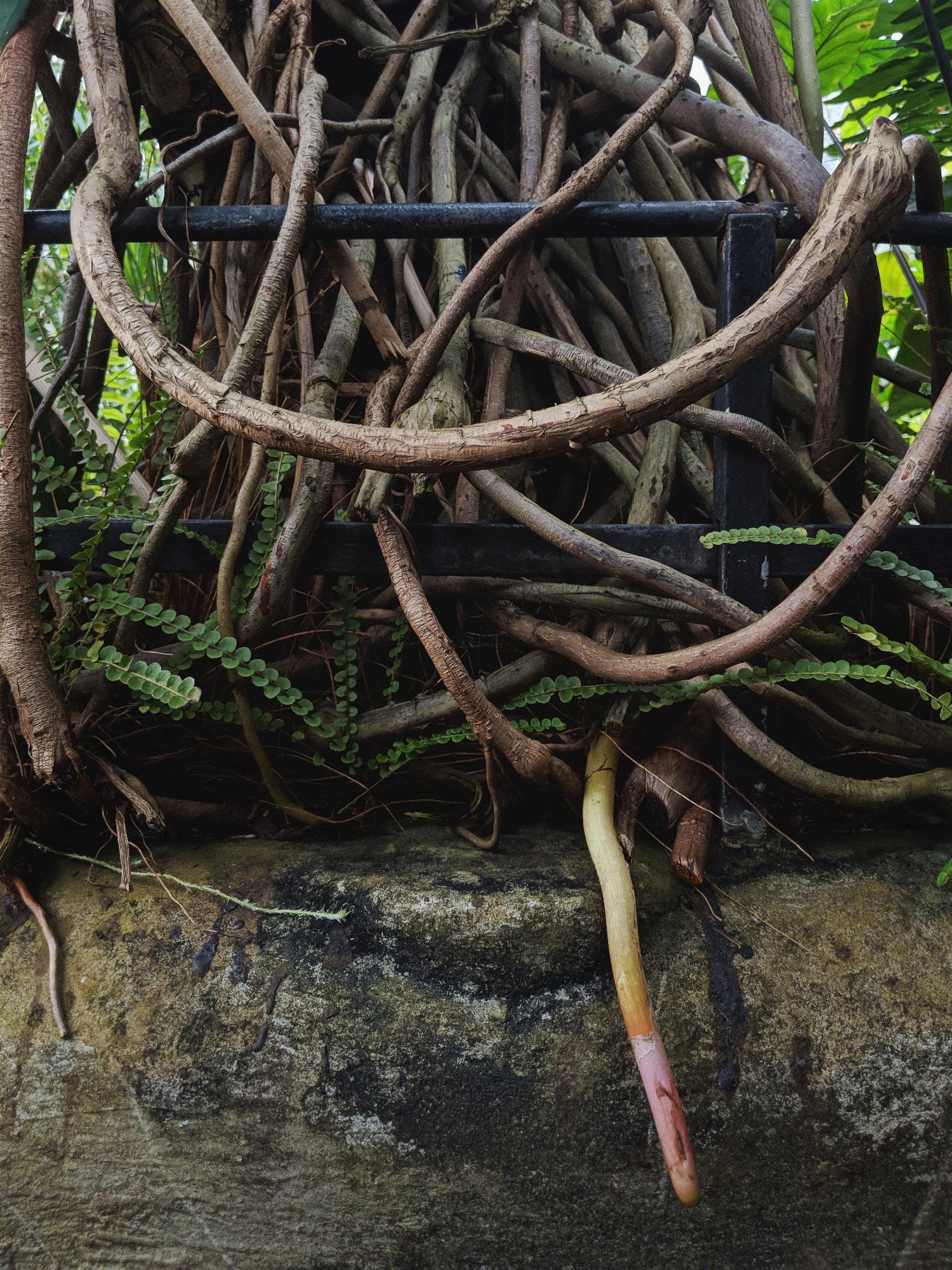Thaumatophyllum bipinnatifidum roots