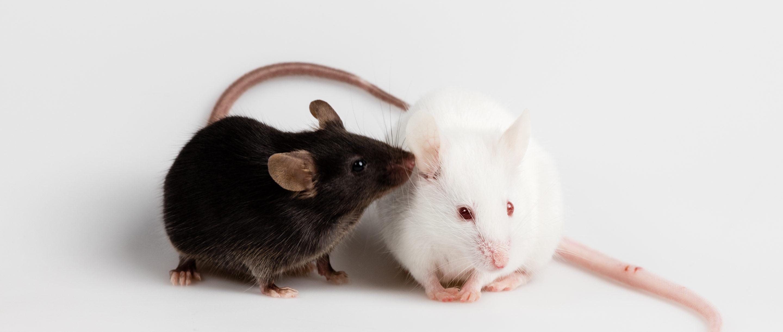 Photo of mice