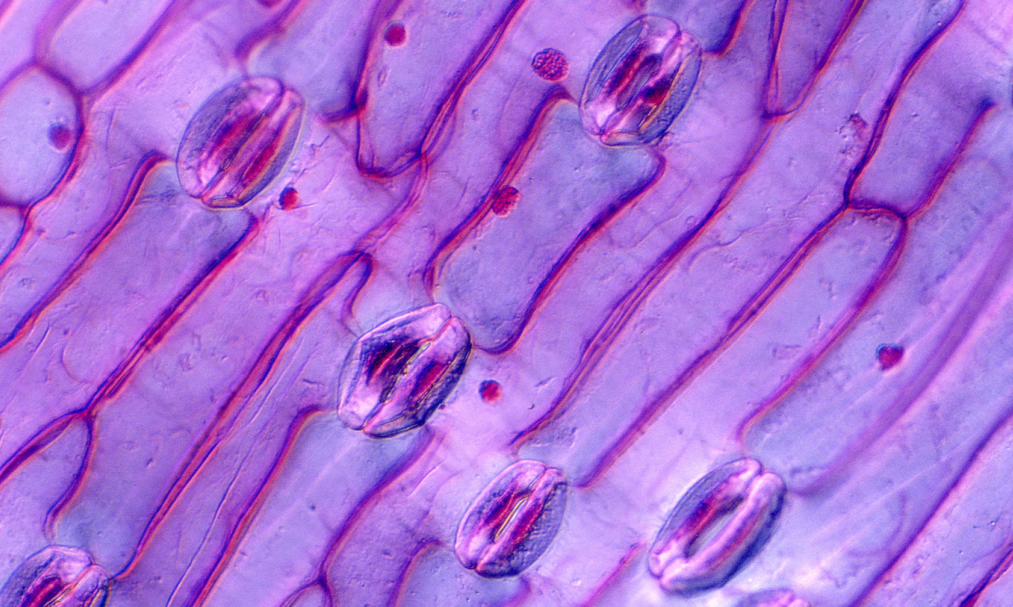 Image of Leaf Stomata