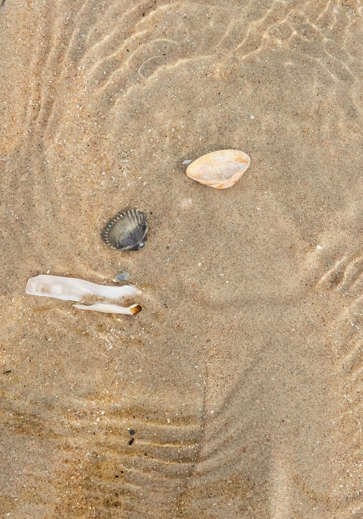 Shells at Noordwijk beach in the Netherlands