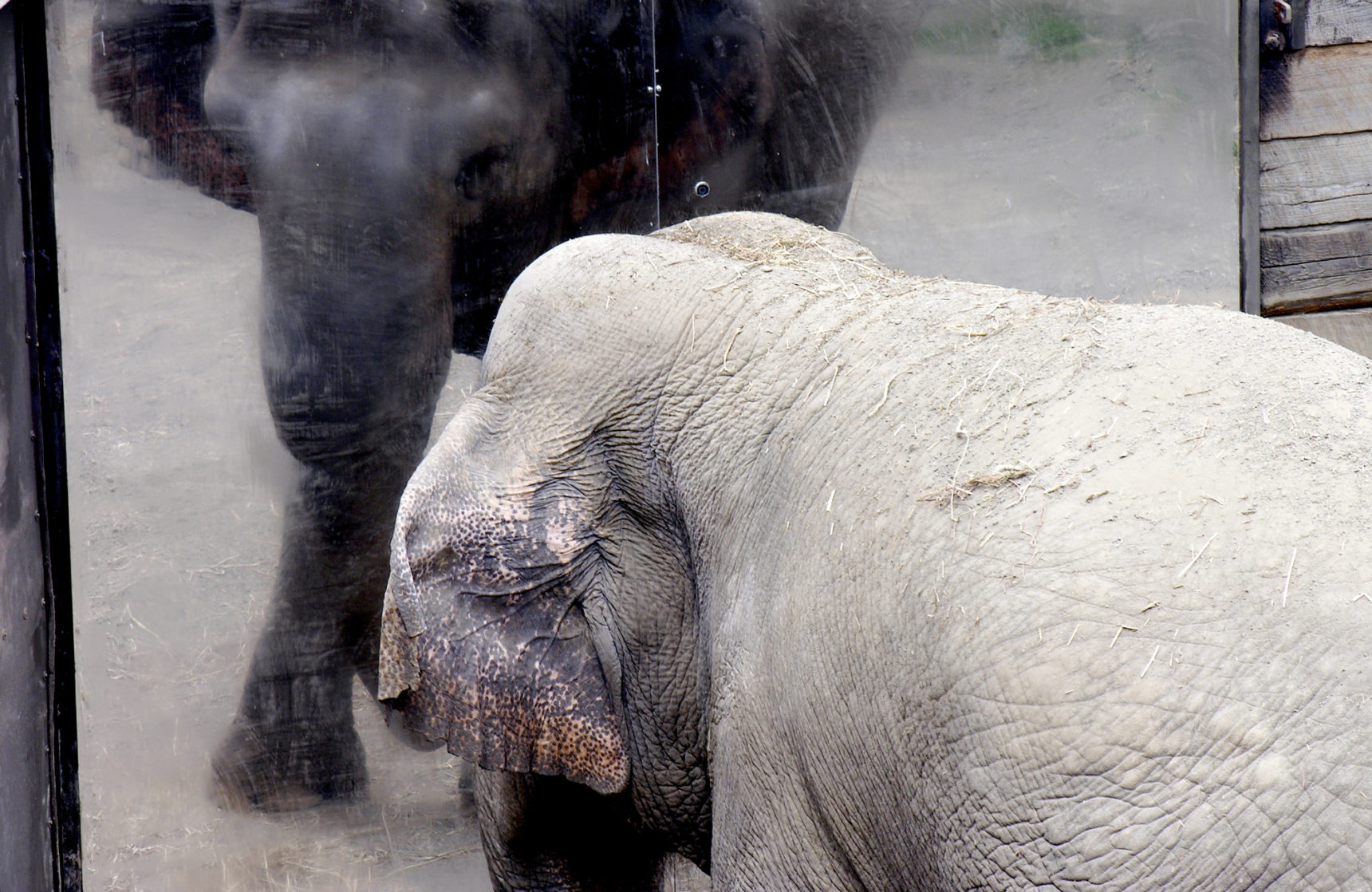 Photo of an elephant looking into a mirror