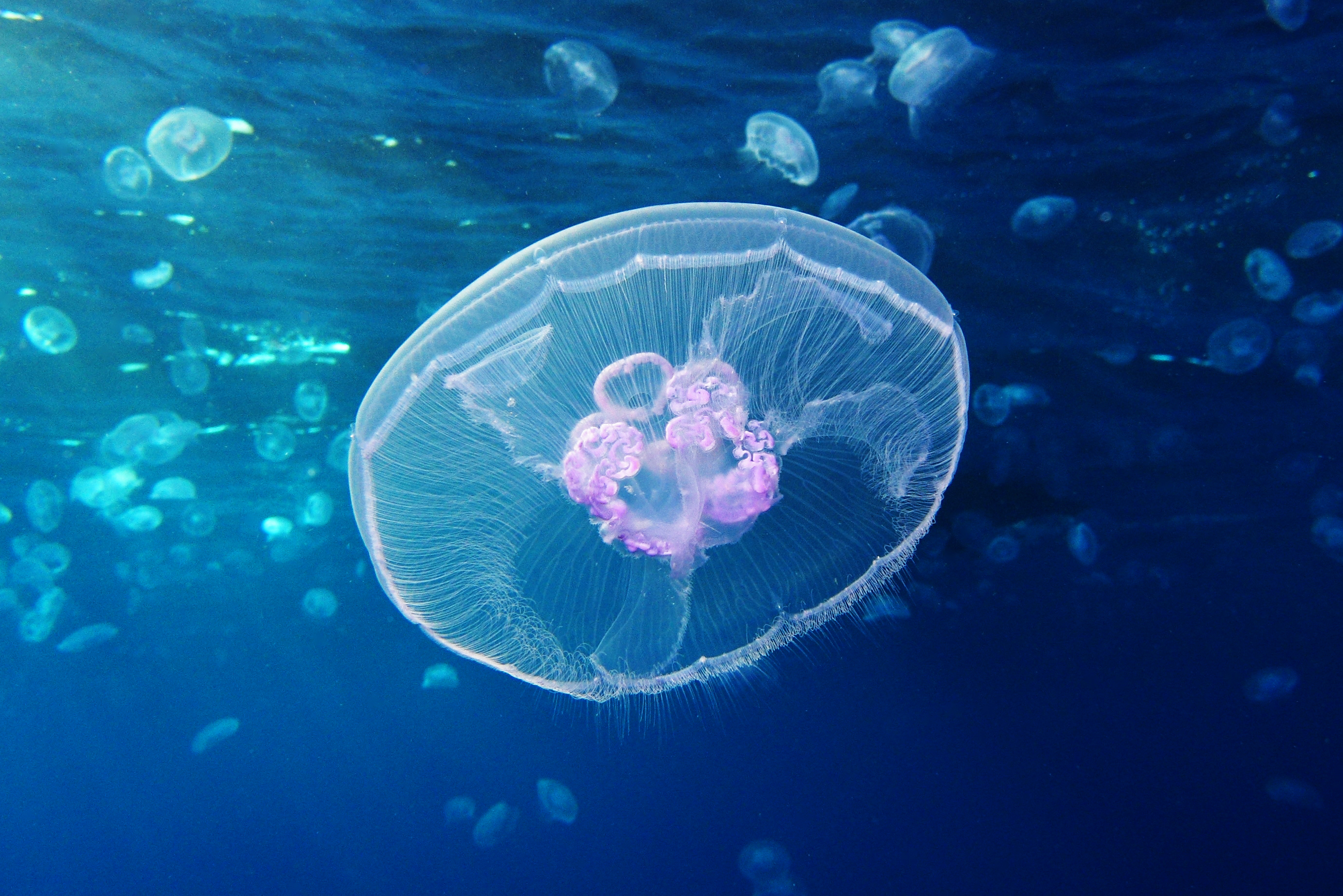Jellyfish Genome Hints That Complexity Isn't Genetically Complex | Quanta Magazine