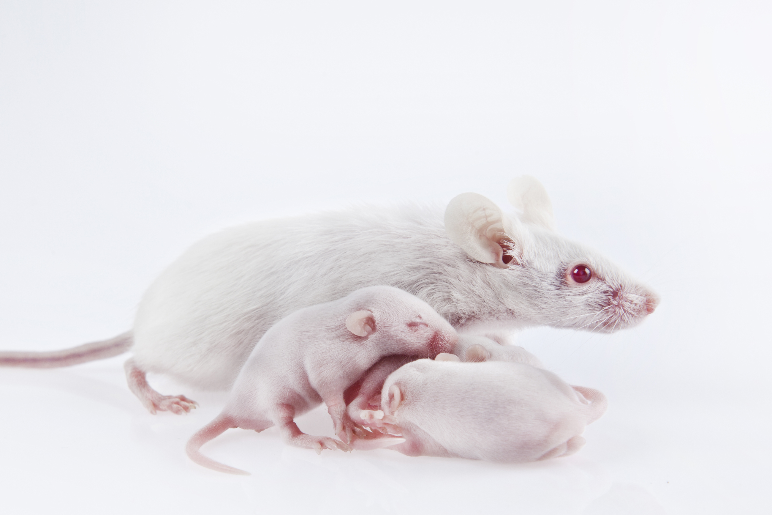 Photo of an adult mouse with two mouse pups.
