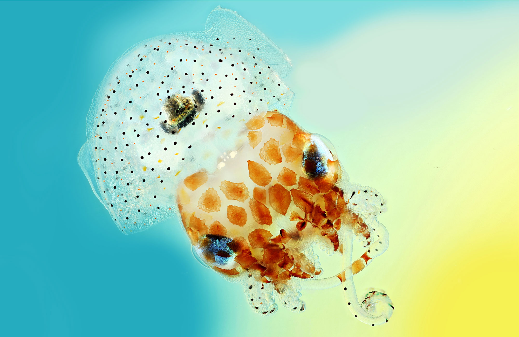 PHOTO: TRANSPARENT HAWAIIAN BOBTAIL SQUID