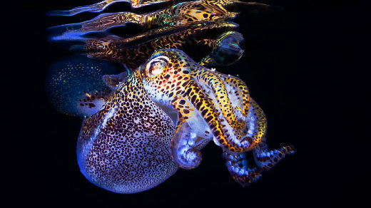 "Art for ""New Squid Genome Shines Light on Symbiotic Evolution"""
