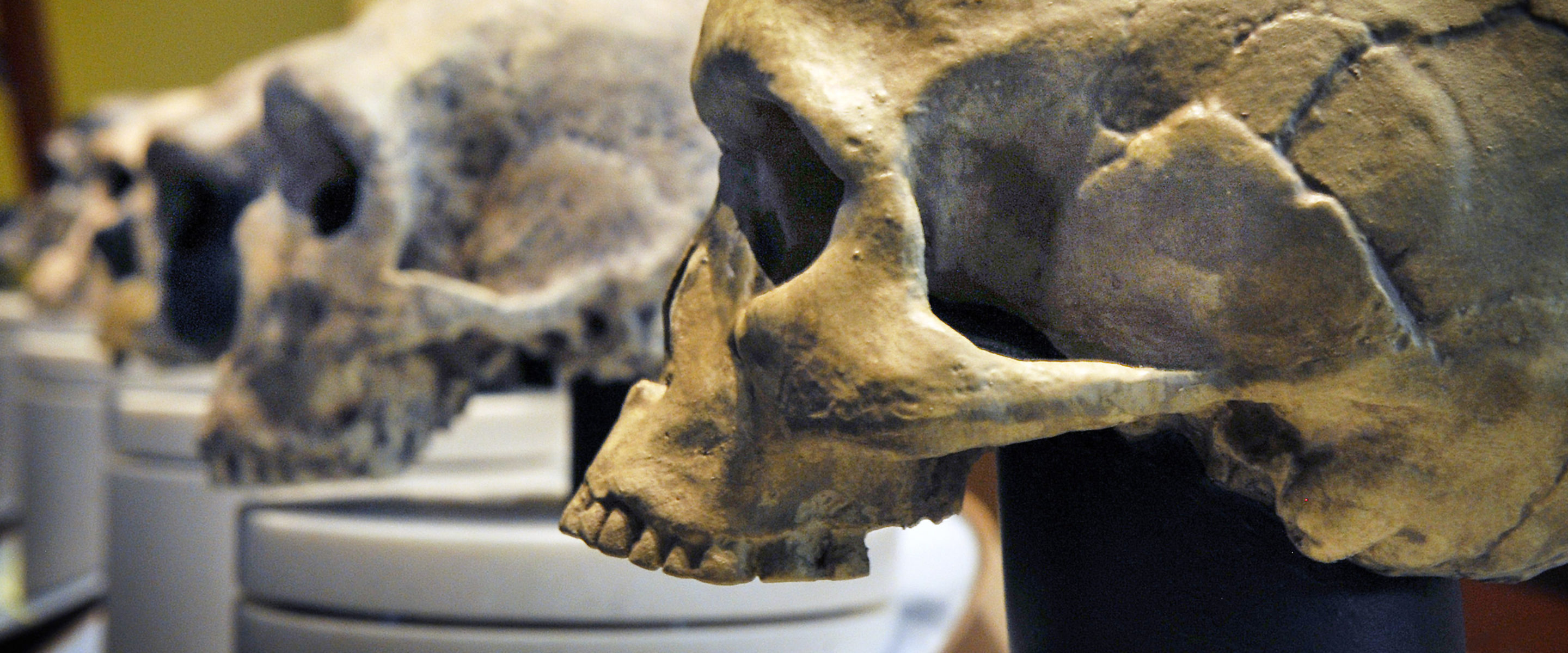 A row of skulls ending with homo sapiens, foreground, found at The Smithsonian Museum of Natural History's Hall of Human Origins.