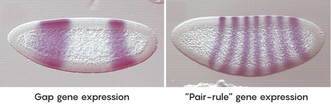 "FIGURE: Gap gene expression compared to ""Pair rule"" gene expression"