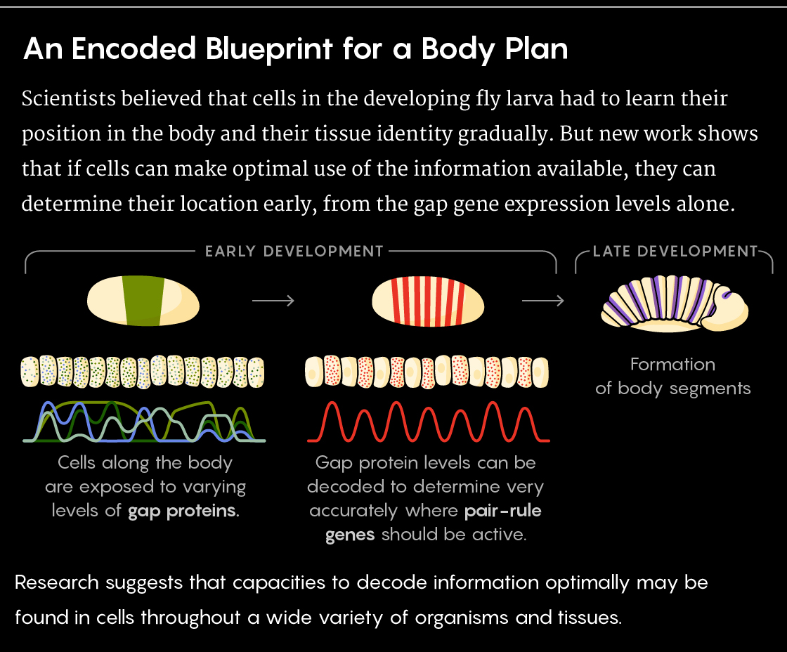 GRAPHIC: Showing the role of gap genes and pair-rule genes in embryonic development