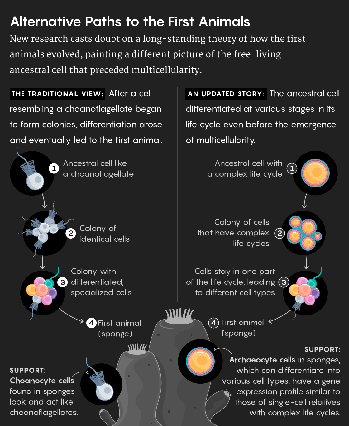 56dc2a812bfb7 Scientists Debate the Origin of Cell Types in the First Animals ...