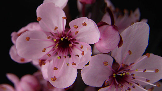 VIDEO OPENER: TIME-LAPSE OF FLOWER OPENING.