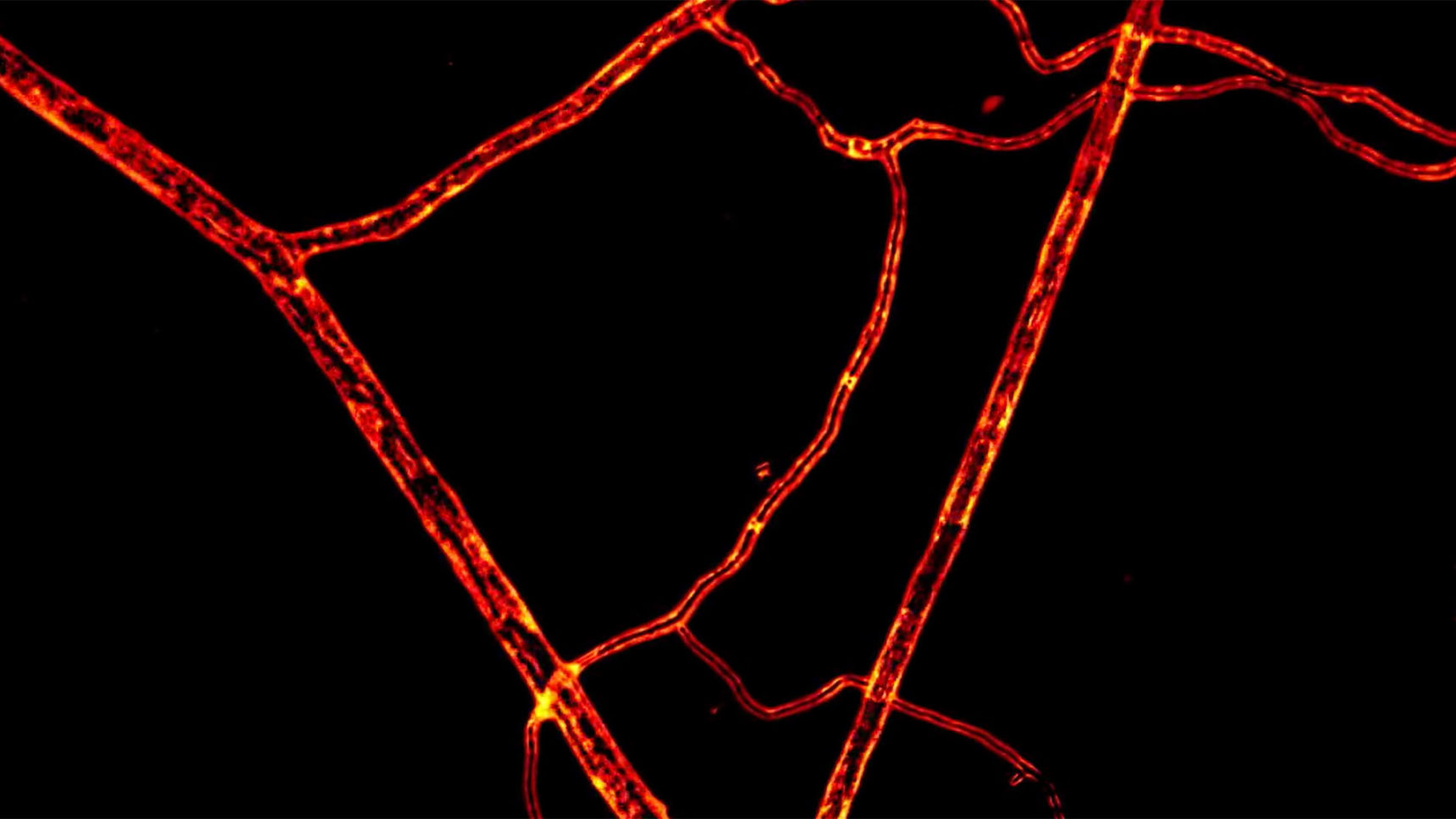 Video: This video shows materials streaming through living fungal hyphae. The direction of the streaming changes because the fungus redirects the flow of nutrients, seemingly strategically, in response to environmental conditions.