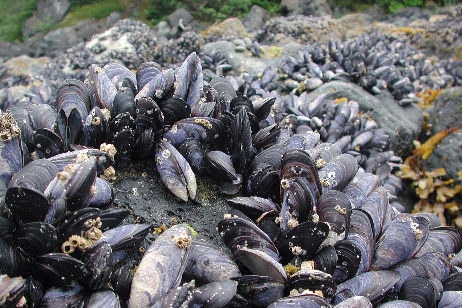 Photo of a cluster of elongated gray-and-white mussels on shoreline rocks.