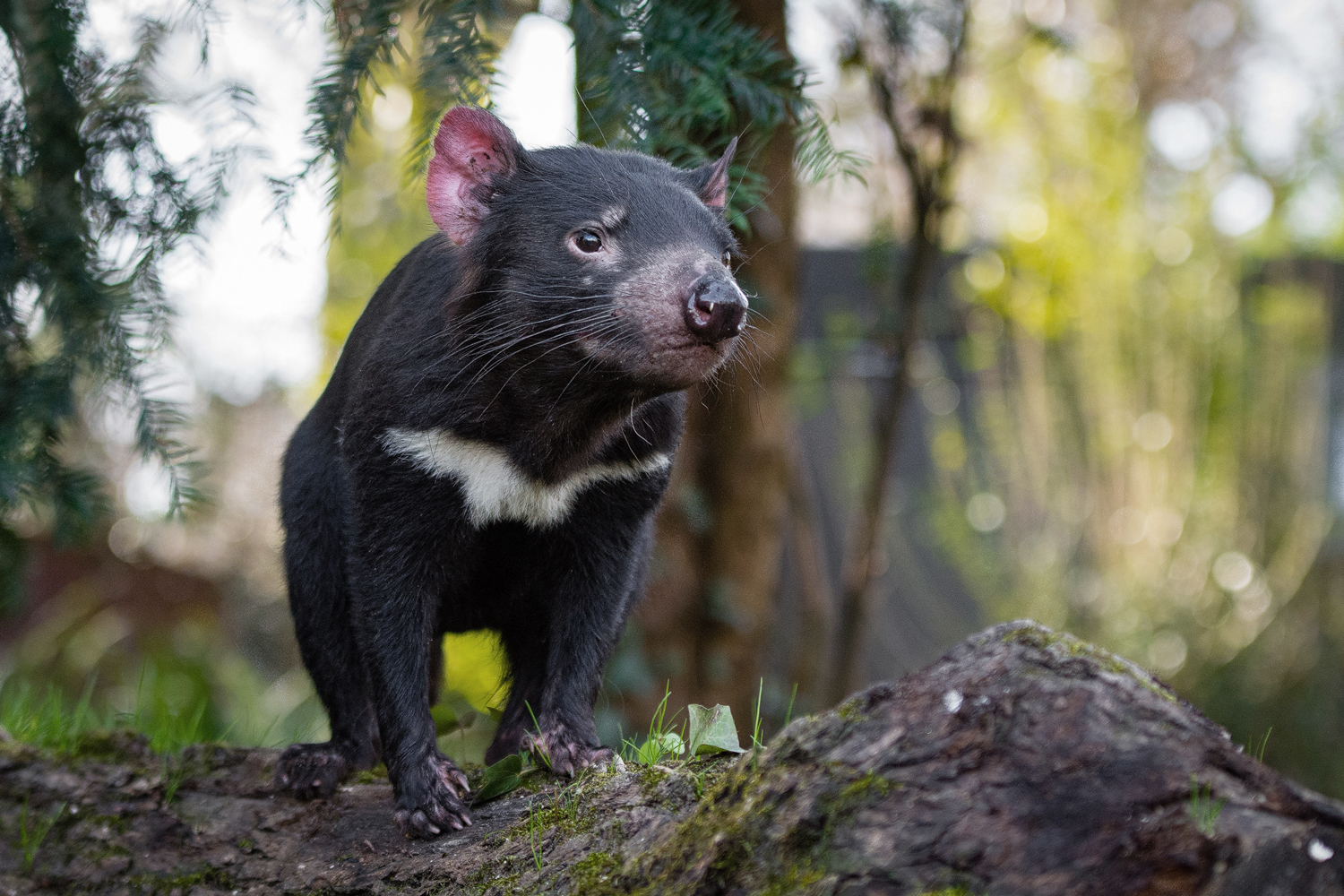 Photo of Tasmanian devil, a small black carnivorous mammal with a rounded snout, standing on a log.