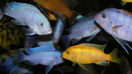 Cichlid fish of diverse colors and shapes swim together.