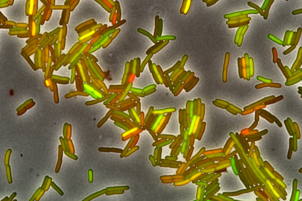Rod shaped bacteria glow in different shades of red, yellow and green.