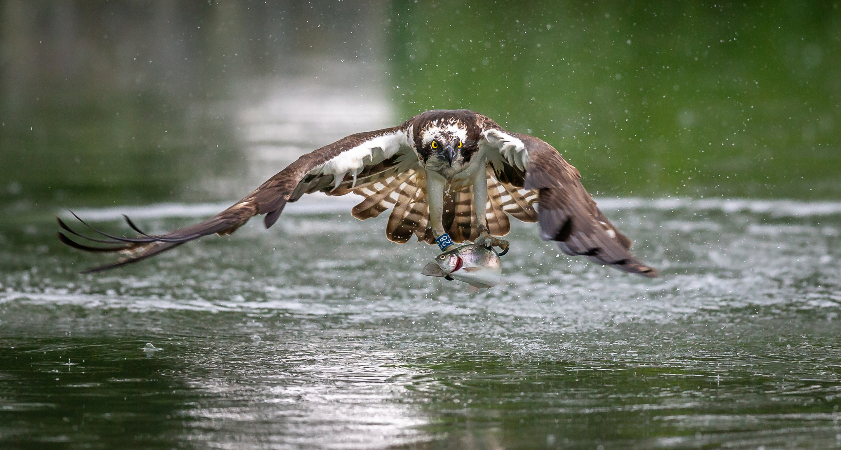 An osprey flying low over a river holds a trout in its claws.