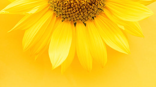 Photo of a yellow sunflower against a yellow background.