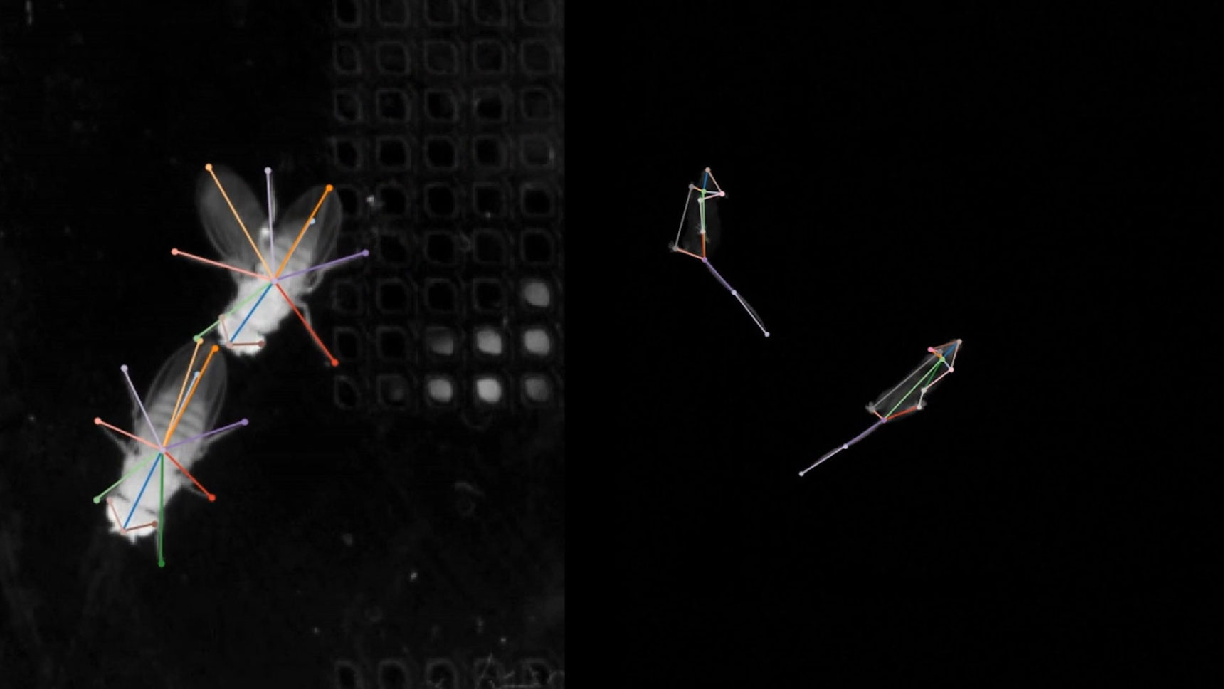 New methods can track the postures of diverse animals as they interact. In these videos, the algorithm SLEAP automatically labels and follows the body parts of a pair of courting flies (left) and of two mice exploring their environment.