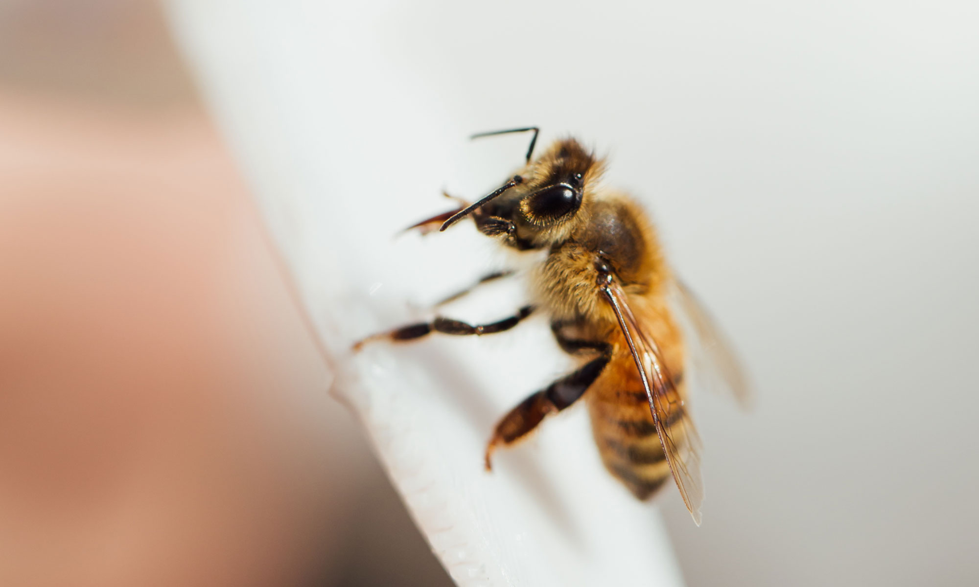 Close up photo of a honeybee