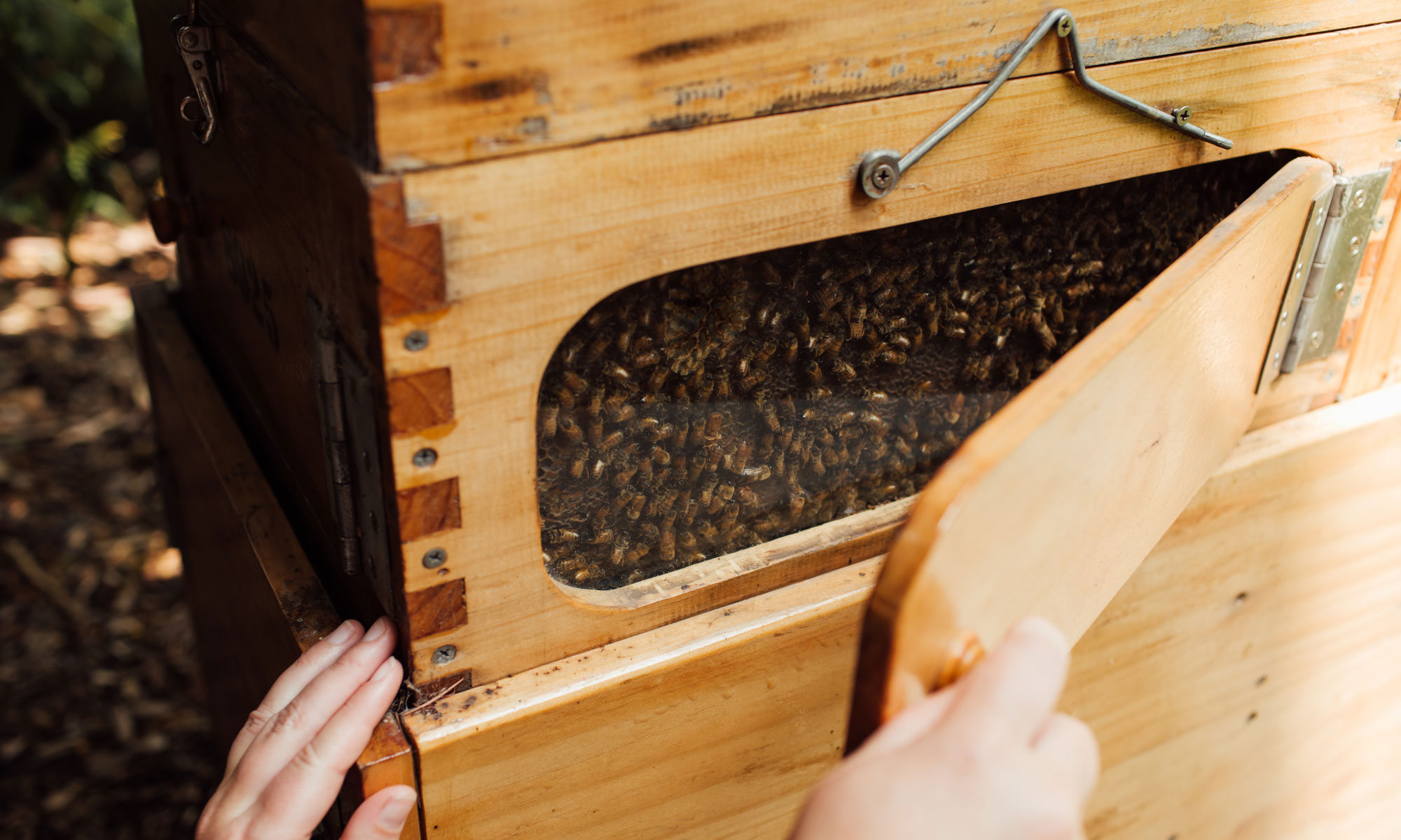 One of two photos: This one shows Scarlett Howard opening a side panel of a chimney hive housing honeybees