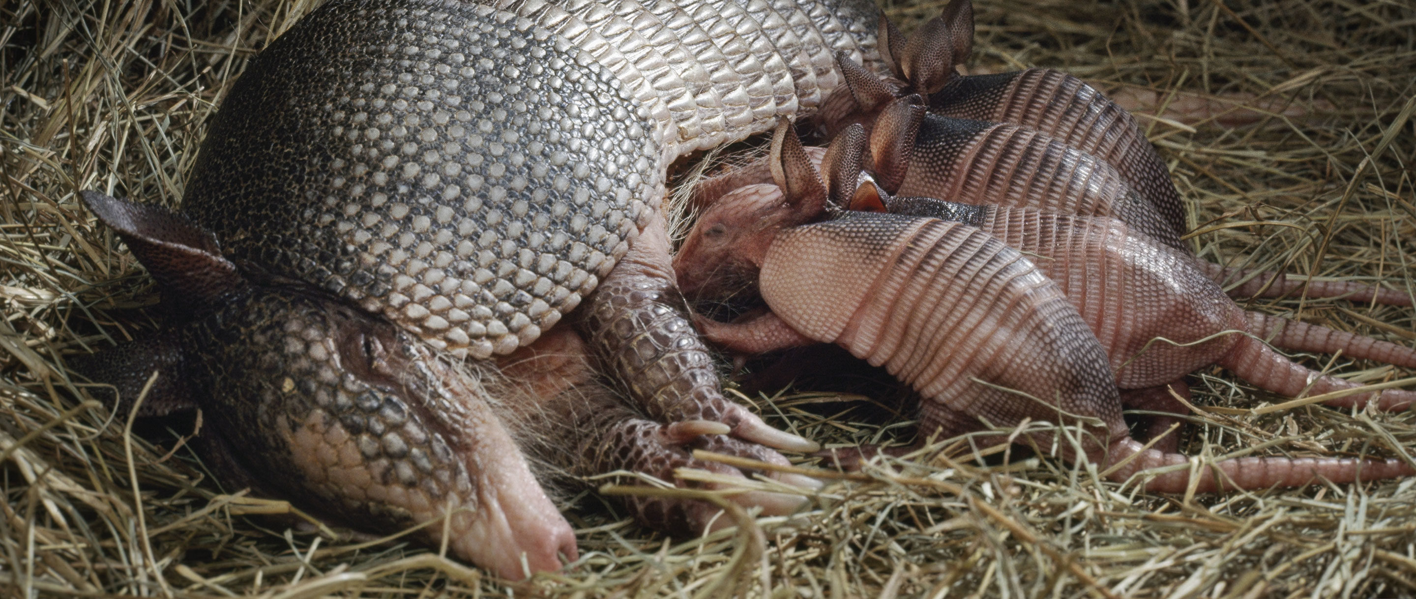 A mother armadillo, lying on her side, nurses four baby armadillos.