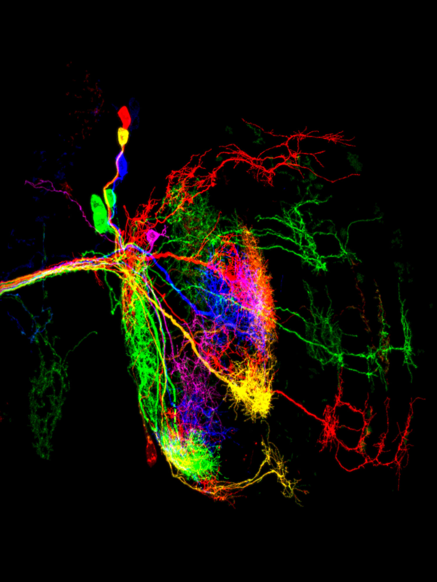 Micrograph of dorsal cluster neurons from a fruit fly, with different neurons glowing in various colors.