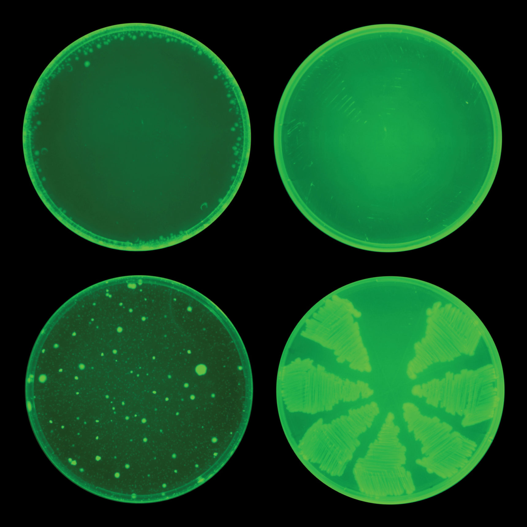 Four petri dishes arranged in a square. The top dishes show much less bacterial growth than the bottom ones.