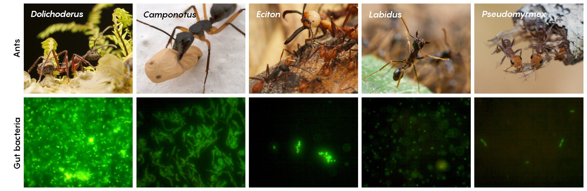 A photo montage that pairs images of ant species with fluorescent microscopy that reveals how extensive their intestinal microbiomes are.
